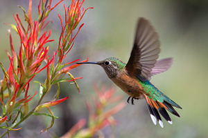 Dick Orleans' Rocky Mountain Hummingbirds