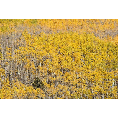 A lone pine is surrounded by an aspen stand on a hillside above Kenosha Pass